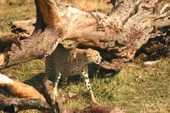 Mara cheetah Stock Photos