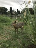 Patagonian mara in the wild royalty free stock images