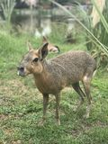 Patagonian mara in the wild stock images