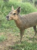 Patagonian mara in the wild stock photography
