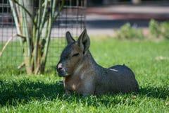 Mara dans le zoo images libres de droits