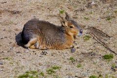 Mara, Dolichotis patagonum Lizenzfreie Stockfotos