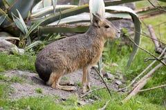 Mara, Dolichotis patagonum ist kleiner Herbivore lizenzfreie stockbilder