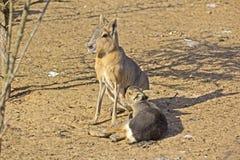 Mara fêmea e seu filhote Fotos de Stock Royalty Free