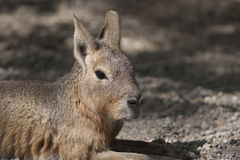 Mara hare of Patagonia Royalty Free Stock Photos