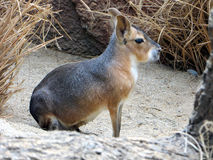 Mara i natur Arkivbilder