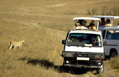 Mara Kenya masajów geparda Zdjęcia Stock
