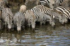 Mara Kenya masajów stado zebr fotografia royalty free