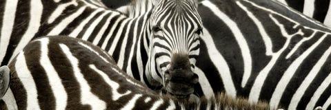 Mara Kenya masajów stado zebr Zdjęcia Royalty Free