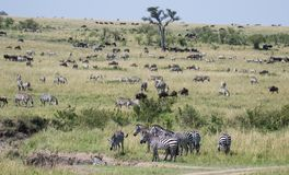 Mara Landscape. The landscape of the Mara grasslands is dominated by herds of wildebeastes and dazzles of Zebras Royalty Free Stock Photo