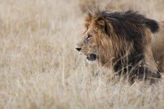 Mara Lion Kenya fotografering för bildbyråer