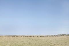Антилопы гну и зебры в злаковике национального парка Mara Masai, Кении Стоковая Фотография