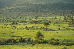 mara masai Royaltyfri Foto