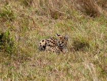 mara masai serval Στοκ Φωτογραφίες
