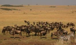 Mara migratie Royalty-vrije Stock Foto's
