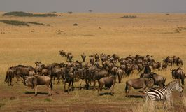 Mara migration Royalty Free Stock Photos