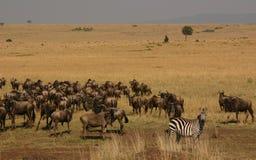 Mara migration. Maasai mara migration Royalty Free Stock Images