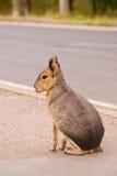 Mara op de weg Stock Foto's