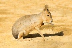 Mara ou lebre patagonian Fotos de Stock