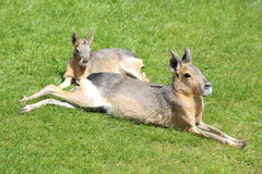 A Mara. A pair of Maras lying on the grass Stock Image