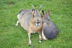 A Mara. A pair of Maras lying on the grass Royalty Free Stock Photo