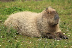 mara patagonian Στοκ Φωτογραφίες