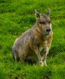 mara patagonian Стоковые Фотографии RF