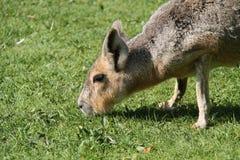 Mara Patagonian Hare fotografia de stock royalty free
