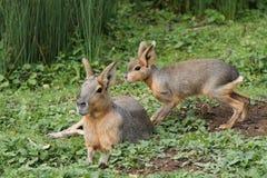 Mara Patagonian Hares Arkivbilder