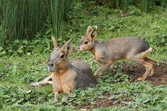 Mara Patagonian Hares. Stock Images