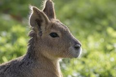 Mara Portrait Stockbild