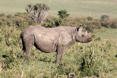 Mara Rhino. A Rhinoceros, taken in the Masia Mara, Kenya in Spetember, an oxpecker sits on its back royalty free stock photo