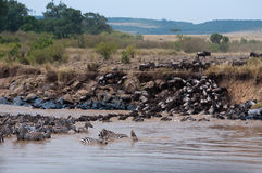 Mara River Crossing. Zebra and wildebeest Masai Mara river crossing during the migration Stock Photos