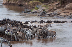 Mara River Crossing Stock Photography