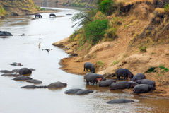 Mara river, hippopotamus. Kenya Royalty Free Stock Photography