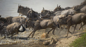 Mara Rush. A herd of wildebeest spill into the Mara River during the annual Great Migration as they follow the rains Royalty Free Stock Photography