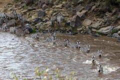 Mara rzeka w Kenja Zebry od Masai Mara Serengeti, Afryka Zdjęcie Royalty Free