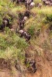 Mara rzeki region Początek wielka migracja wildebeest Kenja africa obrazy stock