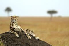 Mara van Masai Jachtluipaard Stock Foto
