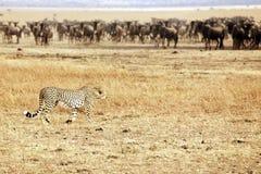 Mara van Masai Jachtluipaard die Wildebeest besluipt Stock Afbeelding