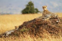 Mara van Masai Jachtluipaarden Royalty-vrije Stock Foto's