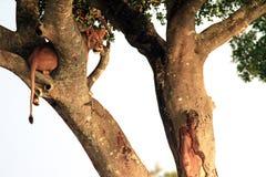Mara van Masai Leeuw royalty-vrije stock afbeelding