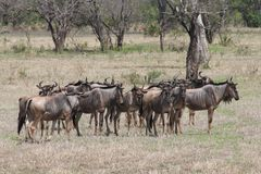 Mara Wildebeest Royalty Free Stock Photography