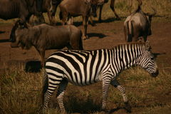 Mara zebra Royalty Free Stock Image