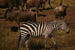 mara zebra Obraz Royalty Free