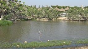 marabú africano 4K y pájaros pintados de la cigüeña dentro de la charca en viaje del safari almacen de metraje de vídeo