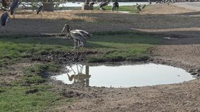 marabú africano 4K y pájaros pintados de la cigüeña dentro de la charca en viaje del safari metrajes