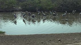 marabú africano 4K y pájaros pintados de la cigüeña dentro del río en viaje del safari almacen de video