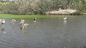 marabú africano 4K y pájaros pintados de la cigüeña dentro del río en viaje del safari almacen de metraje de vídeo