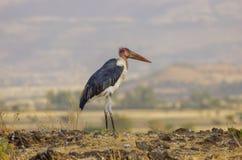 Maraboeooievaar dichtbij droog meer in Ethiopië stock foto